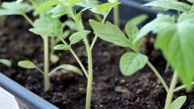 Los seedings verdes del tomate en invernadero están listos para plantar almacen de video