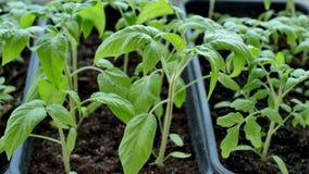 Los seedings verdes del tomate en invernadero est?n listos para plantar fotografía de archivo libre de regalías