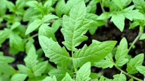Los seedings verdes del tomate en invernadero est?n listos para plantar foto de archivo