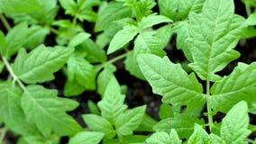Los seedings verdes del tomate en invernadero est?n listos para plantar imagen de archivo