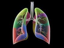 Los segmentos del pulmón stock de ilustración