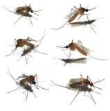Los seis mosquitos Imágenes de archivo libres de regalías