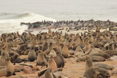 Los sellos lindos se divierten en las orillas del Océano Atlántico en Namibia imagenes de archivo