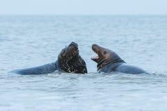 Los sellos luchan en el agua en la isla de la duna cerca de helgoland Fotografía de archivo libre de regalías