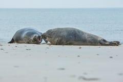 Los sellos luchan en la playa en la isla de la duna cerca de helgoland Foto de archivo