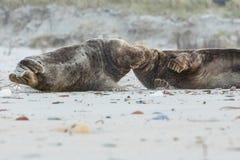 Los sellos luchan en la playa en la isla de la duna cerca de helgoland Fotografía de archivo libre de regalías