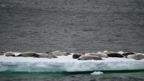 Los sellos mienten en un glaciar en el fondo del agua Andreev almacen de metraje de vídeo