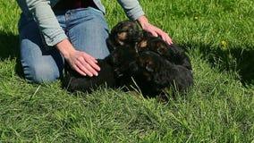 Los seres humanos pusieron perritos del pastor alemán en hierba verde almacen de video