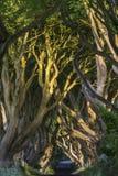 Los setos oscuros, Irlanda del Norte Fotos de archivo