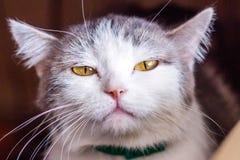 Los silbidos del gato, bostezos, muecas Gato del bozal grande Retrato Usted puede ver los colmillos, los dientes Gato grande, gri foto de archivo libre de regalías