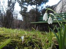 Los snowdrops Fotografía de archivo libre de regalías