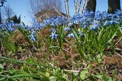 Los snowdrops azules de la primera primavera florecen en un pueblo solar Gard Fotografía de archivo libre de regalías
