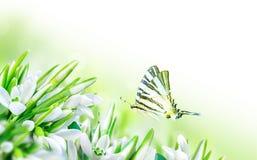 Los snowdrops hermosos florecen el flor y la mariposa en el fondo blanco Naturaleza del resorte Modelo de la tarjeta de felicitac Foto de archivo libre de regalías