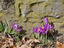 Los snowdrops púrpuras acercan a la piedra Imagen de archivo