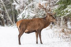 Los solos ciervos nobles adultos con los cuernos hermosos grandes con nieve en fauna europea del bosque del invierno ajardinan co fotografía de archivo libre de regalías