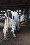 Los soportes blancos y negros de la vaca en el en estable miran detrás la cámara imágenes de archivo libres de regalías