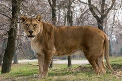 Los soportes y las miradas de la leona en usted fotos de archivo