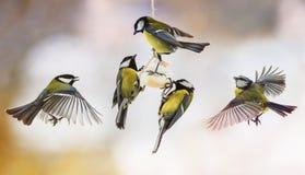 Los Spaß kleine Meisen fliegen oben und essen das Fett in Winter Park lizenzfreies stockbild