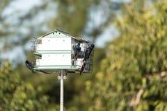 Los subis del Progne de los pájaros de Martin púrpura vuelan y se encaraman en una casa sobre una charca imagenes de archivo
