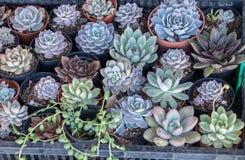 Los Succulents echeveria eingemacht im Plastikkasten lizenzfreie stockfotografie