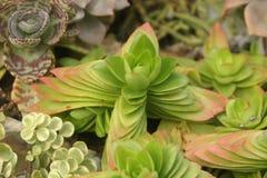 Los succulents gruesos de la hoja muestran un diferente tipo de belleza imágenes de archivo libres de regalías