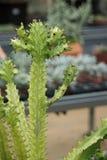 Los Succulents que pueden servir como fondos se tiran en el invernadero Fotografía de archivo libre de regalías