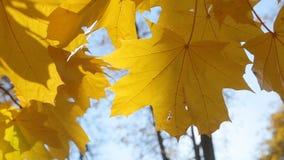 Los sunlights suaves del calor del otoño brillan a través de las hojas de arce amarillas del verano indio almacen de video