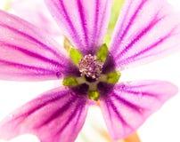 Los sylvestris rosados del Malva de la malva común para arriba se cierran en el fondo blanco foto de archivo libre de regalías