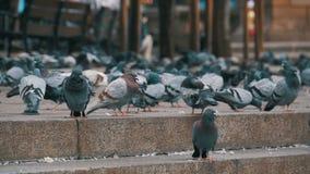 Los Tauben essen Lebensmittel auf der Stadt-Straße in der Zeitlupe stock video footage
