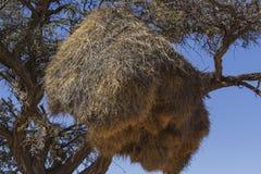 Los tejedores (sociales) sociables jerarquizan en árbol del acacia Fotos de archivo