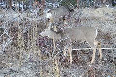 Los temas de los ciervos y de los alces de la estación de caza son populares para cazar o las carteleras o las revistas del desie imágenes de archivo libres de regalías