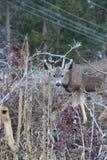 Los temas de los ciervos y de los alces de la estación de caza son populares para cazar o las carteleras o las revistas del desie fotos de archivo