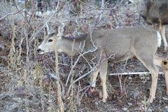Los temas de los ciervos y de los alces de la estación de caza son populares para cazar o las carteleras o las revistas del desie foto de archivo libre de regalías