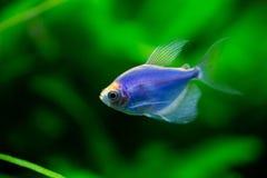 Los tetra glofish azules fotos de archivo