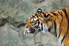 Los tigres comen el pollo fotografía de archivo libre de regalías
