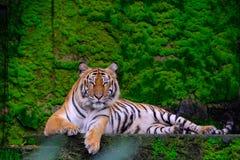 Los tigres de Bengala mienten con uno a en musgo verde en un mou rocoso imágenes de archivo libres de regalías