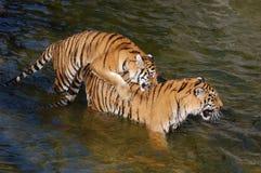 Los tigres hacen el amor en el agua Foto de archivo