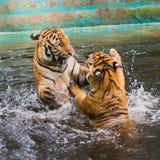 Los tigres jovenes están jugando en una piscina Imagenes de archivo