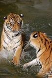 Los tigres juegan en el agua Fotos de archivo libres de regalías