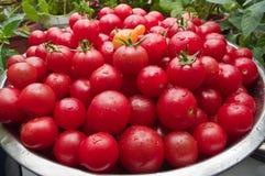 Los tomates de cereza orgánicos escogieron recientemente del jardín Imagen de archivo libre de regalías