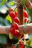 Los tomates rojos maduros están colgando en el árbol del tomate en el jardín foto de archivo