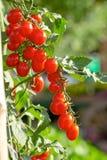 Los tomates rojos maduros están colgando en el árbol del tomate en el jardín fotografía de archivo libre de regalías