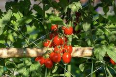 Los tomates rojos maduros están colgando en el árbol del tomate en el jardín fotos de archivo libres de regalías