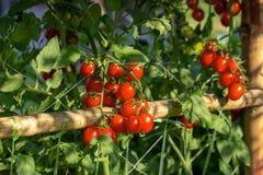Los tomates rojos maduros están colgando en el árbol del tomate en el jardín fotos de archivo