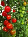 Los tomates rojos y verdes en Bush Imagenes de archivo