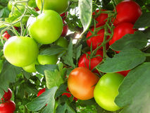 Los tomates rojos y verdes en Bush Foto de archivo libre de regalías