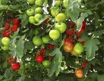 Los tomates rojos y verdes en Bush Imagen de archivo