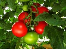 Los tomates rojos y verdes en Bush Fotografía de archivo libre de regalías