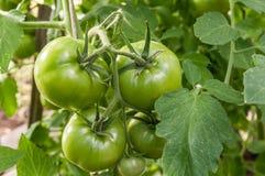 Los tomates verdes crecen en el jardín Fotografía de archivo libre de regalías