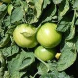 Los tomates verdes en las ramas en el vegetanle cultivan un huerto Ciérrese encima de 1 imagen de archivo libre de regalías